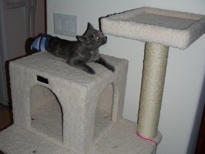 Zoey climbs the cat tree